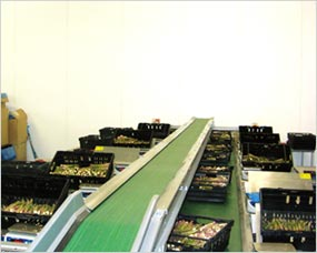 Asparagus packing line